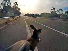"""Велосипедистку в Австралии жестко  """"подрезал""""  перебегавший  шоссе кенгуру (ВИДЕО)"""