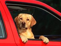 Лабрадор не стал защищать автомобиль хозяина от угонщика и уехал вместе с ним